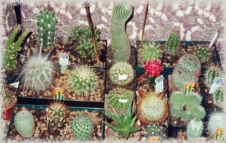 Кактусы выращивание из семян в домашних условиях 333